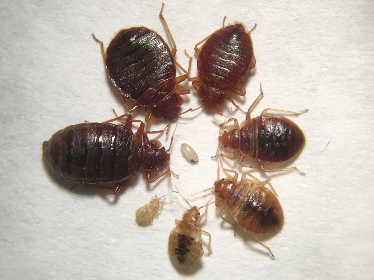 bed bug stages and bed bug size.