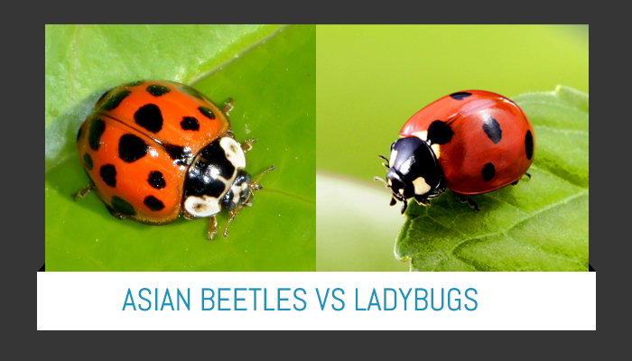 The Difference Between Asian Beetles and Lady Bugs