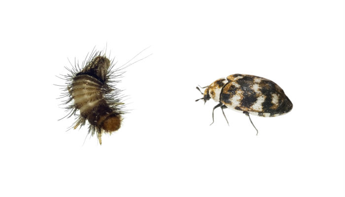 Carpet beetle removal