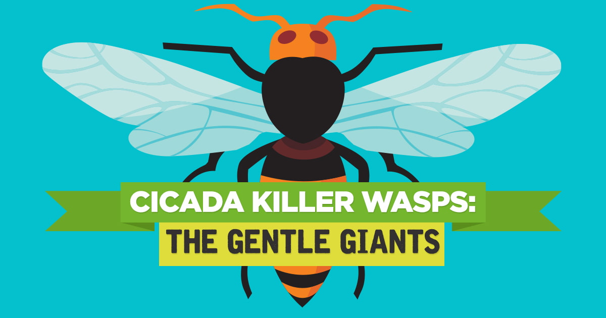 Preferred Pest Control Cicada Killer Wasps