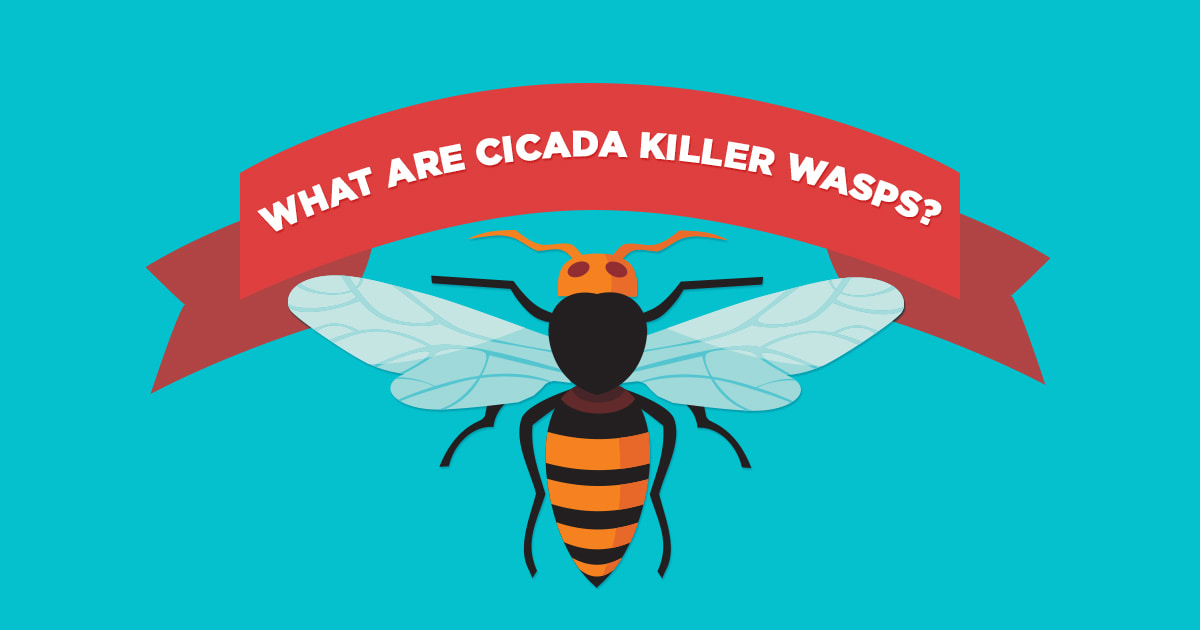 Preferred Pest Control, Cicada Killer Wasps