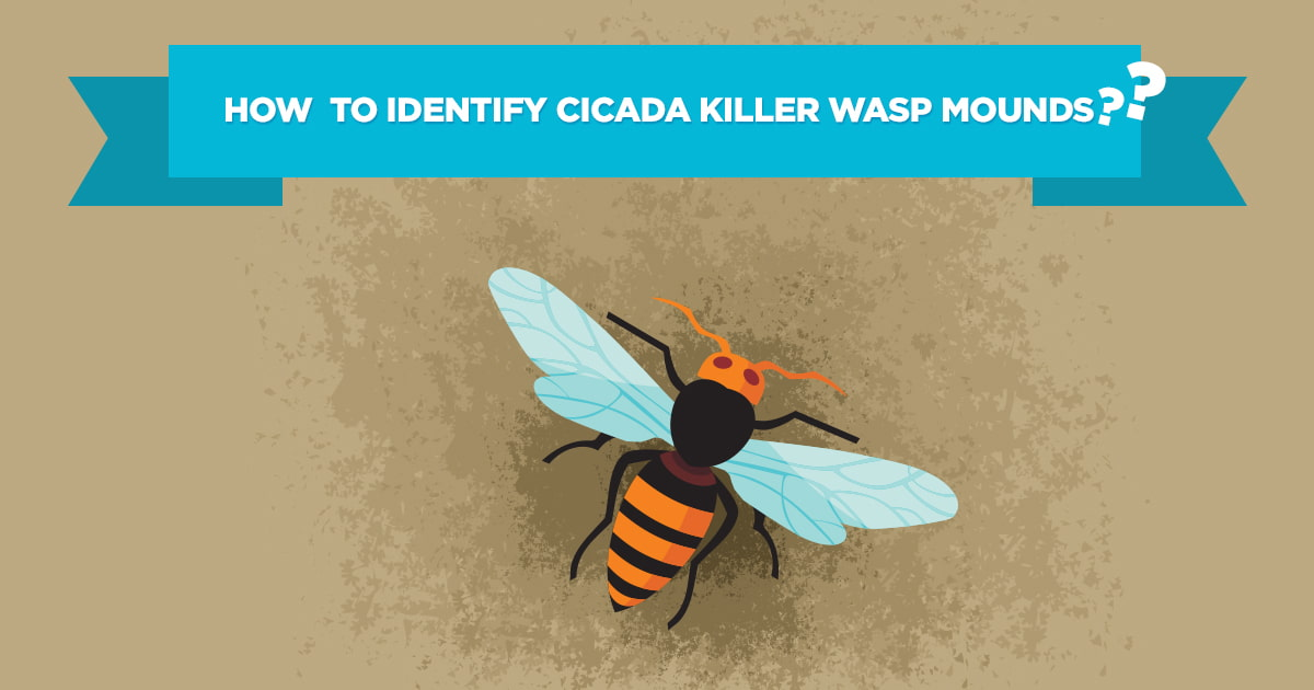 Preferred Pest Control, Cicada Killer Wasp