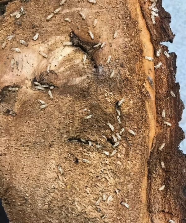termites living inside a piece of a dead tree.