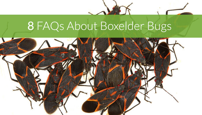 8 FAQs About Boxelder Bugs