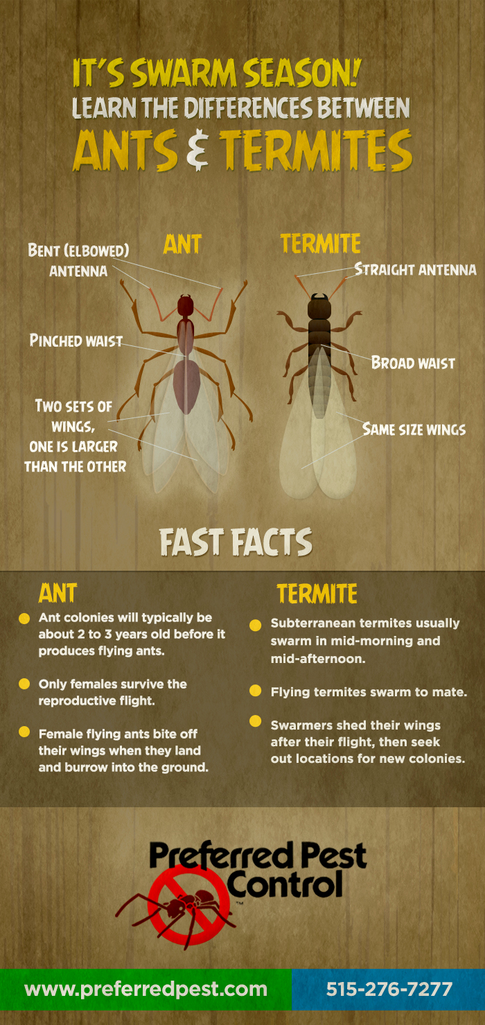 It's Swarm Season! Learn The Differences Between Ants & Termites