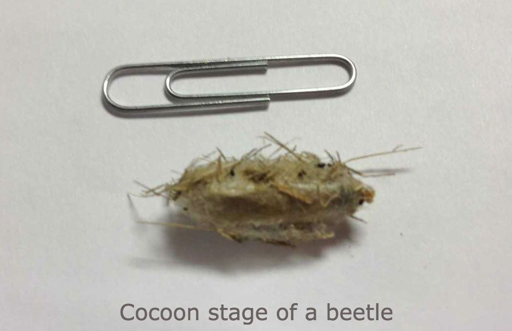 cocoon stage of a beetle