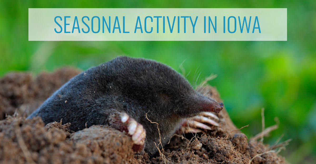 Moles in Iowa