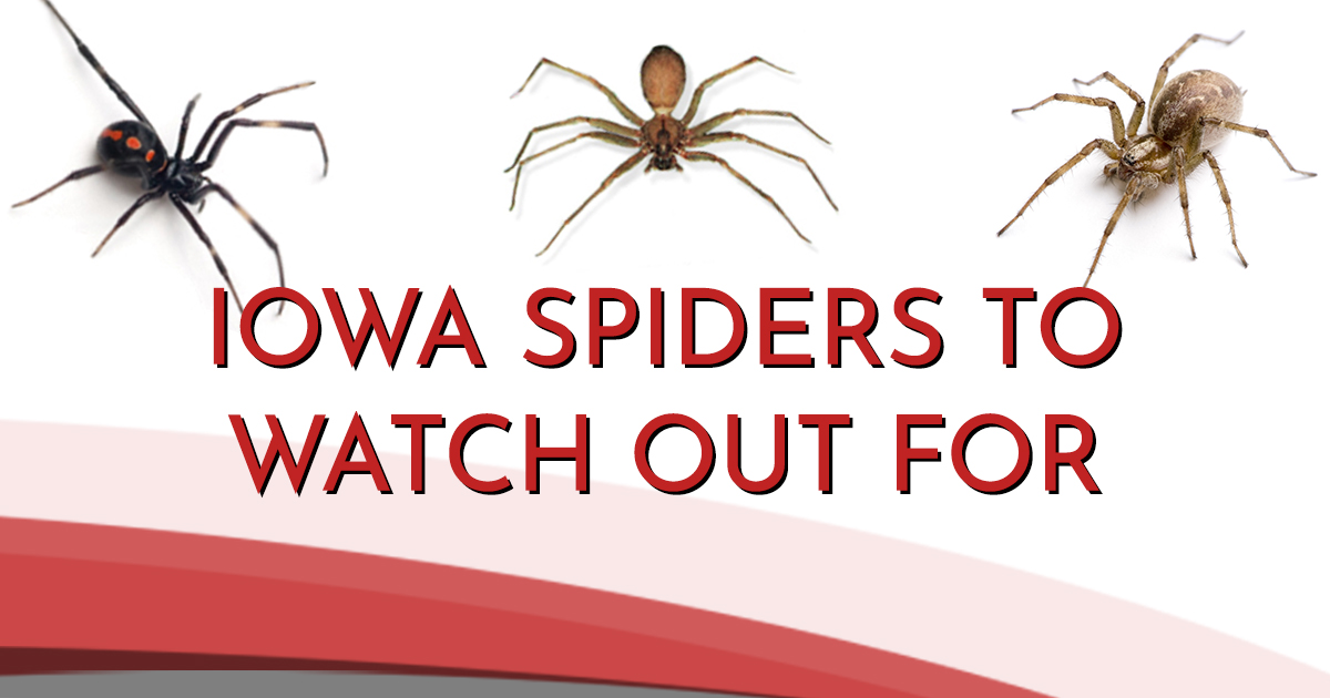 Infographic | Common Spiders Found In Iowa Area