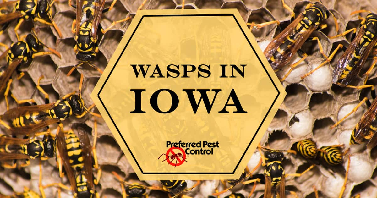 Wasps in Iowa