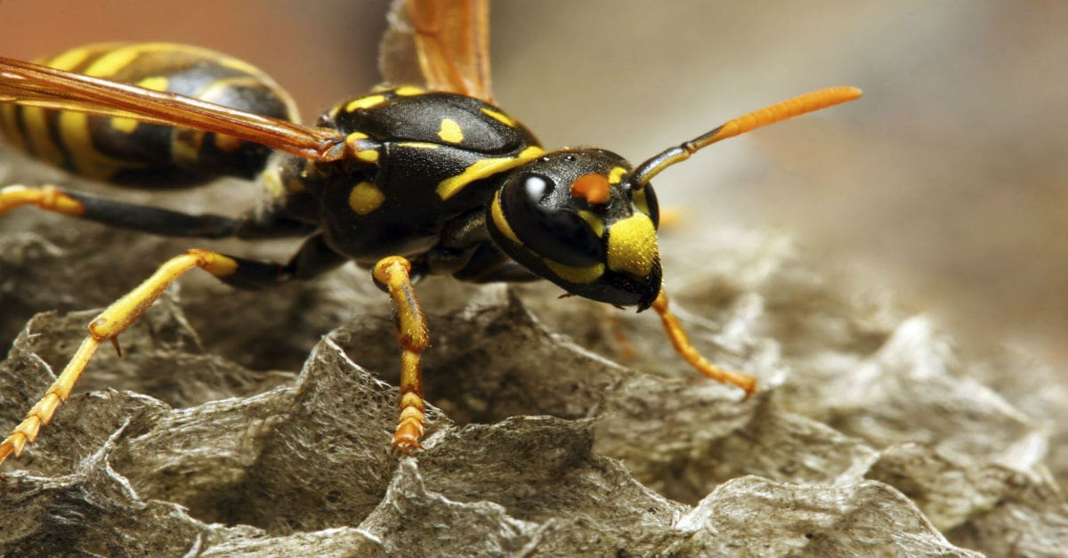 Des Moines Yellow Jacket Wasp Removal