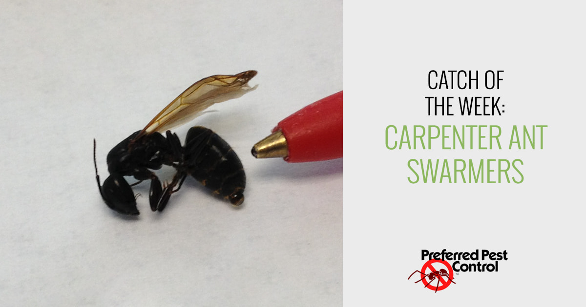 Carpenter Ant Swarmers