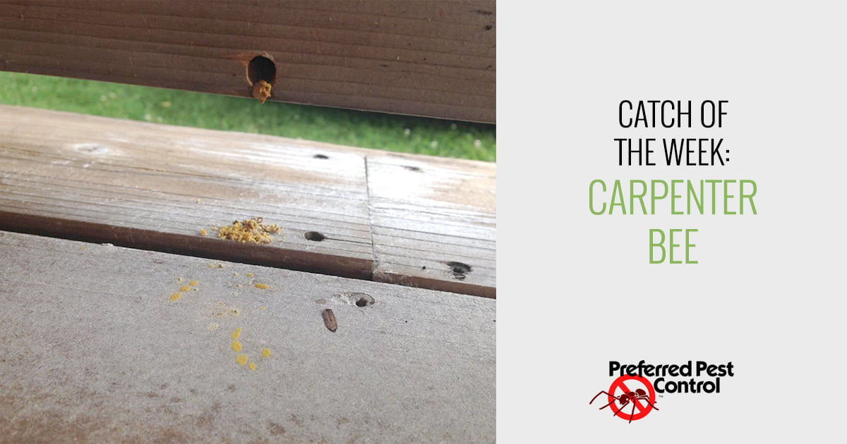 Des Moines Carpenter Bee Removal