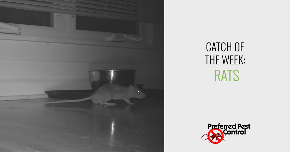 Catch of the Week: Rats