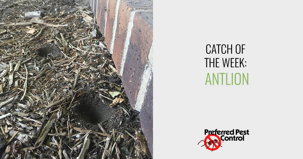 Catch of the Week: Antlion