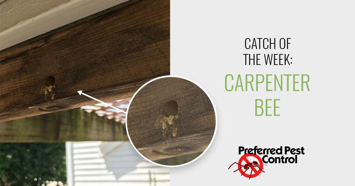 catch of the week: carpenter bee
