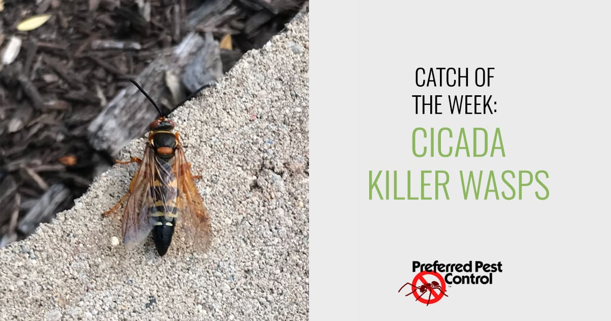 Our Latest Catch in the Des Moines Area | Cicada Killer Wasps
