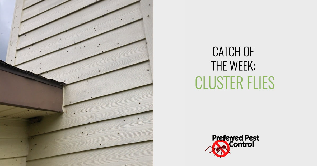 Catch of the Week: Cluster Flies