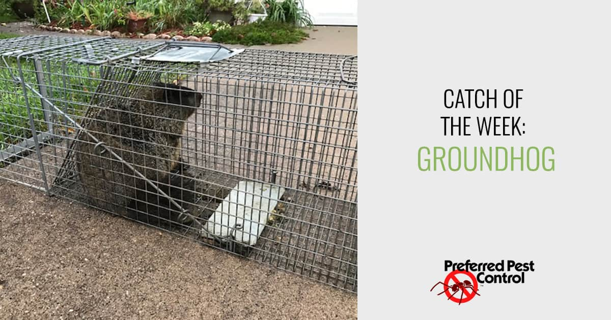 Catch of the Week: Groundhog