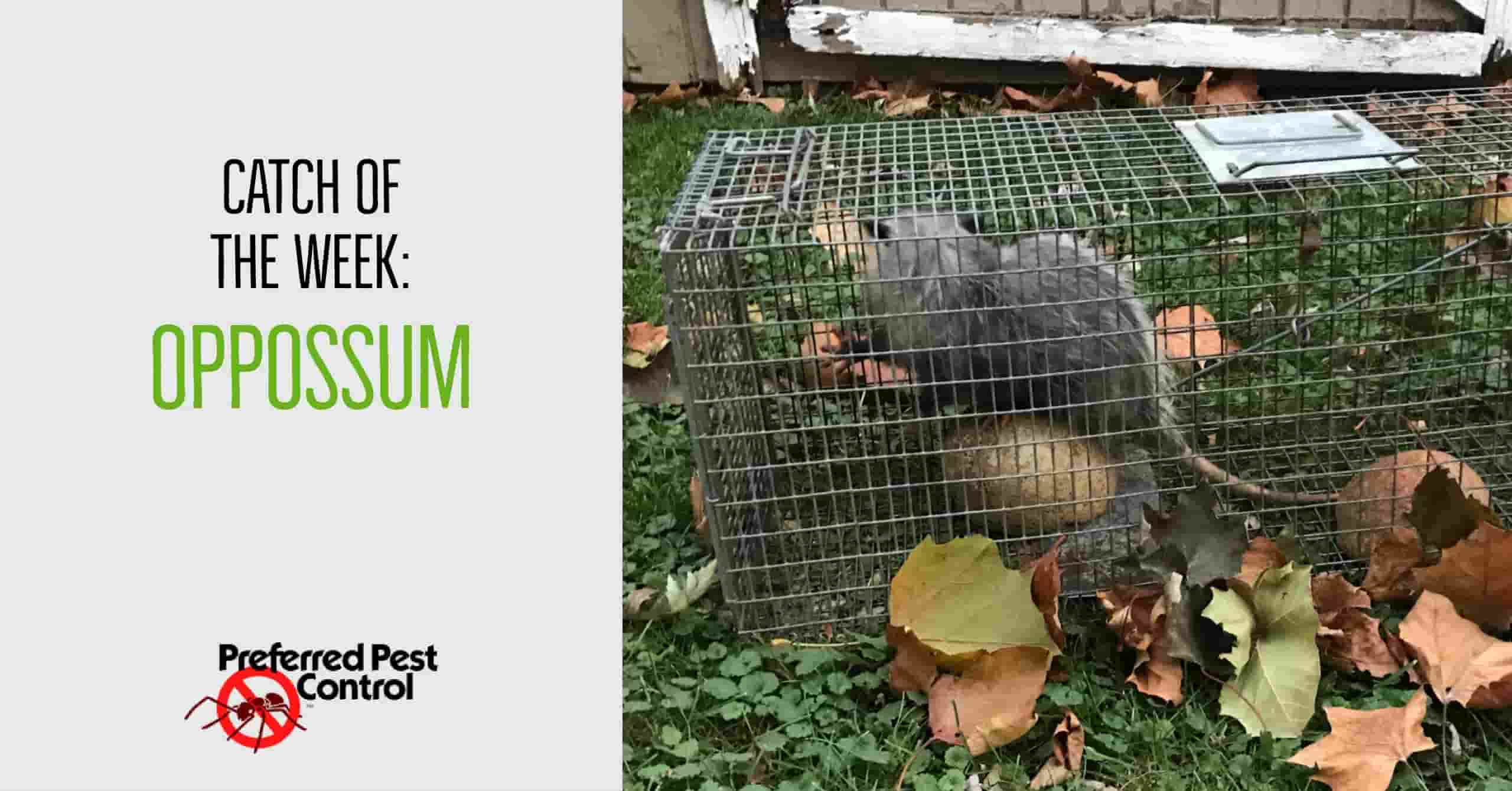 catch of the week: opossum