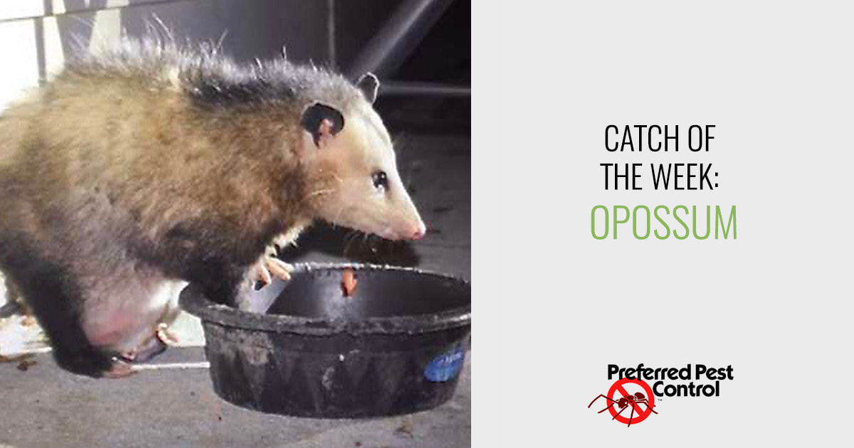 Preferred Pest's latest catch: Opossum