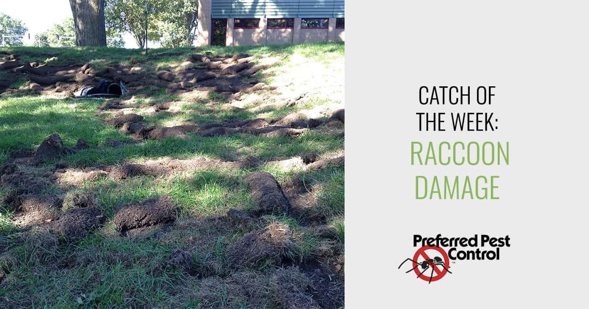 Preferred Pest Control Raccoon Damage To Yards
