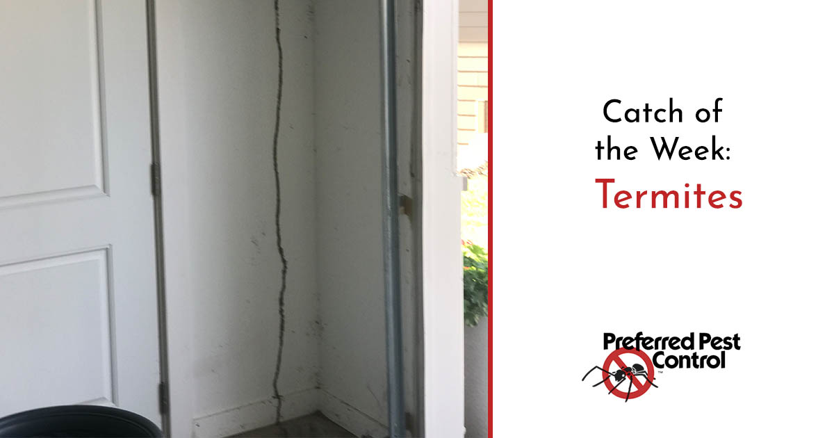 Termite Damage | Catch of the Week: Termites