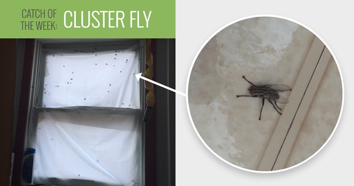 Cluster Flies Preferred Pest Control