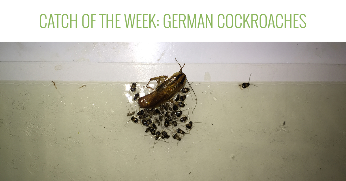 Catch of the Week: German Cockroaches