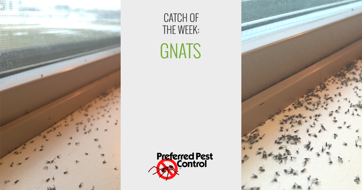Catch Of The Week Fungus Gnats