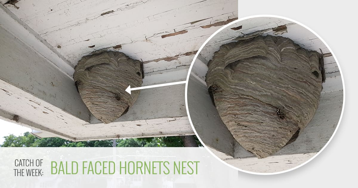 Bald Faced Hornets Nest Des Moines