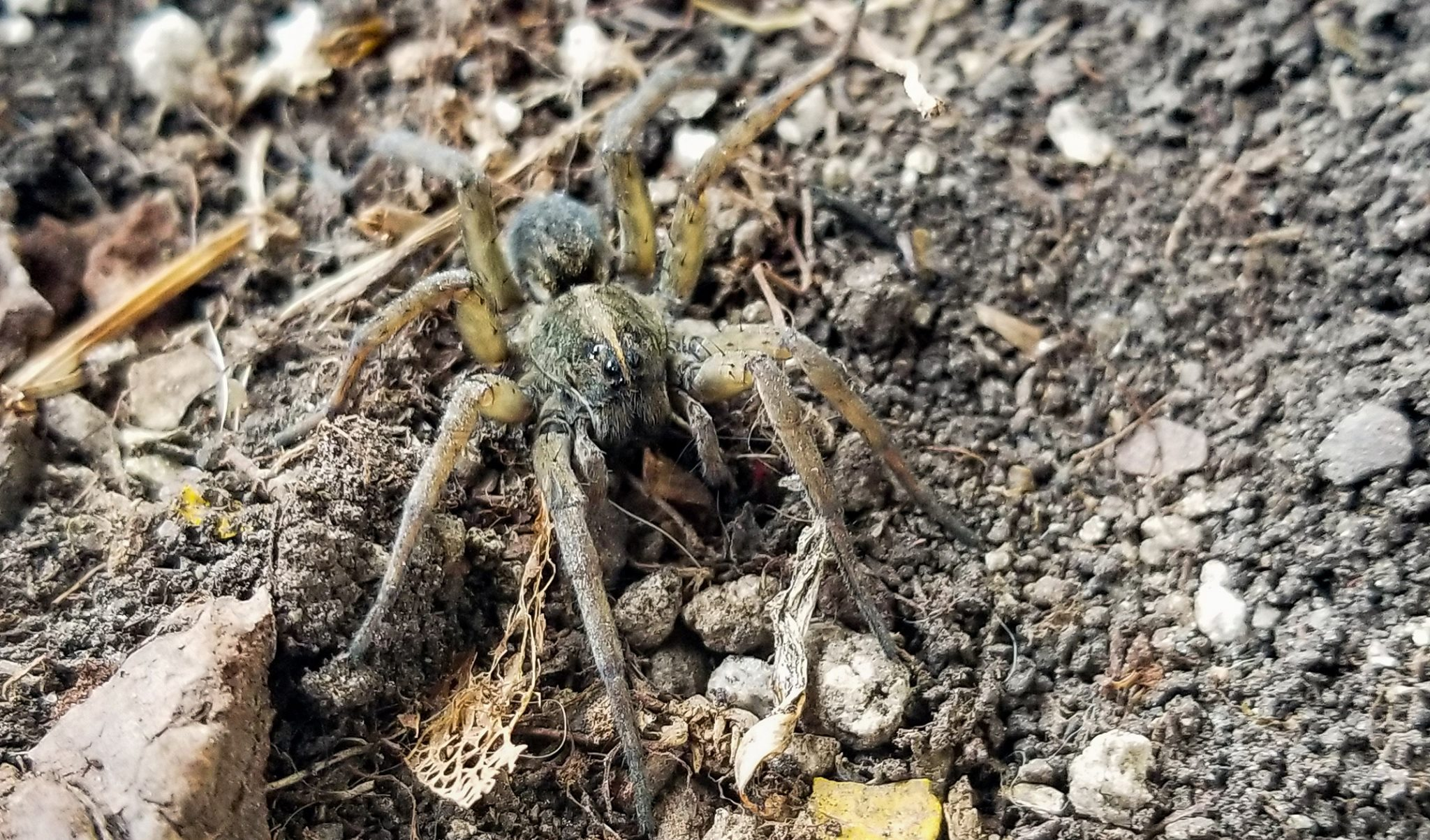 wolf spider in iowa.