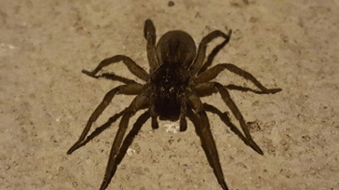 brown recluse in iowa