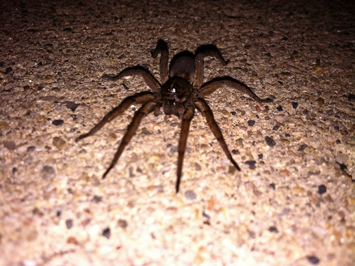 Catch Of The Week Wolf Spiders