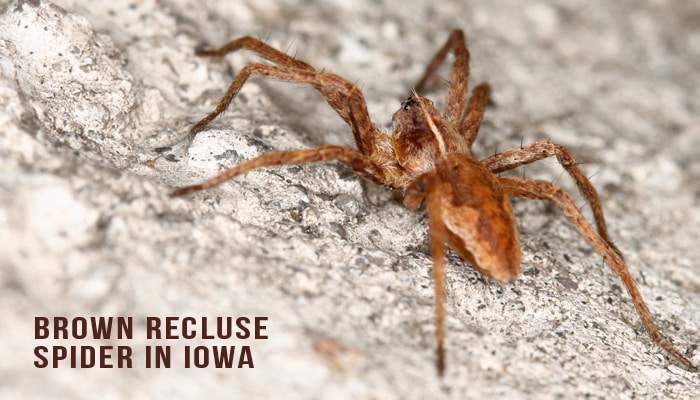 Brown Recluse Spiders In Iowa