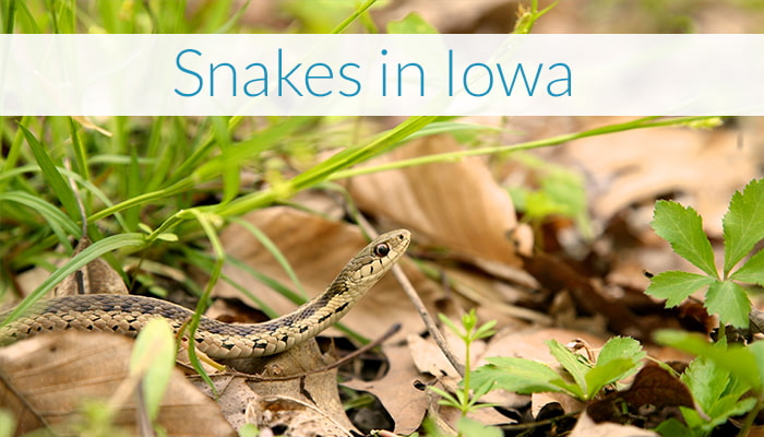 Snakes in Iowa