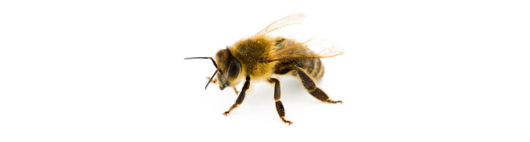 Bees | Preferred Pest Control - Des Moines, Iowa