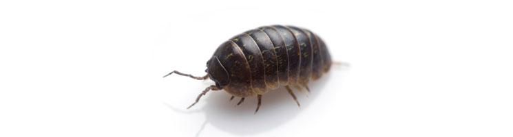 a pillbugs preferred environment light or dark